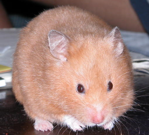 a peach colored hamster